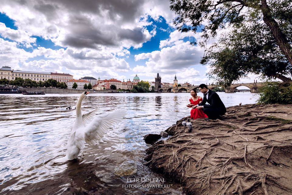 Swans at Vltava river and Charles Bridge in background of your pre wedding photos