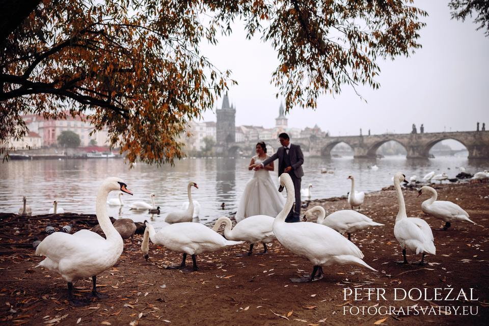 Feeding swans at Vltava riverside with Charles Bridge in background for your PreWedding Photos