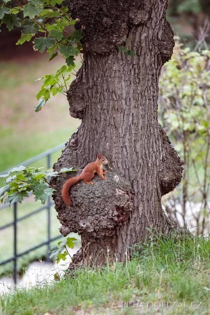 Veverky jsou stálými obyvateli Grébovky. Nemůžete je tam minout.